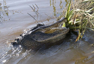 Come see alligators like this in the swamps with Airboat Adventures!