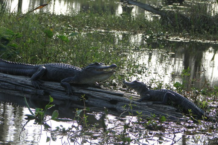 Witness alligators living in Louisiana's swamps with Airboat Adventures.