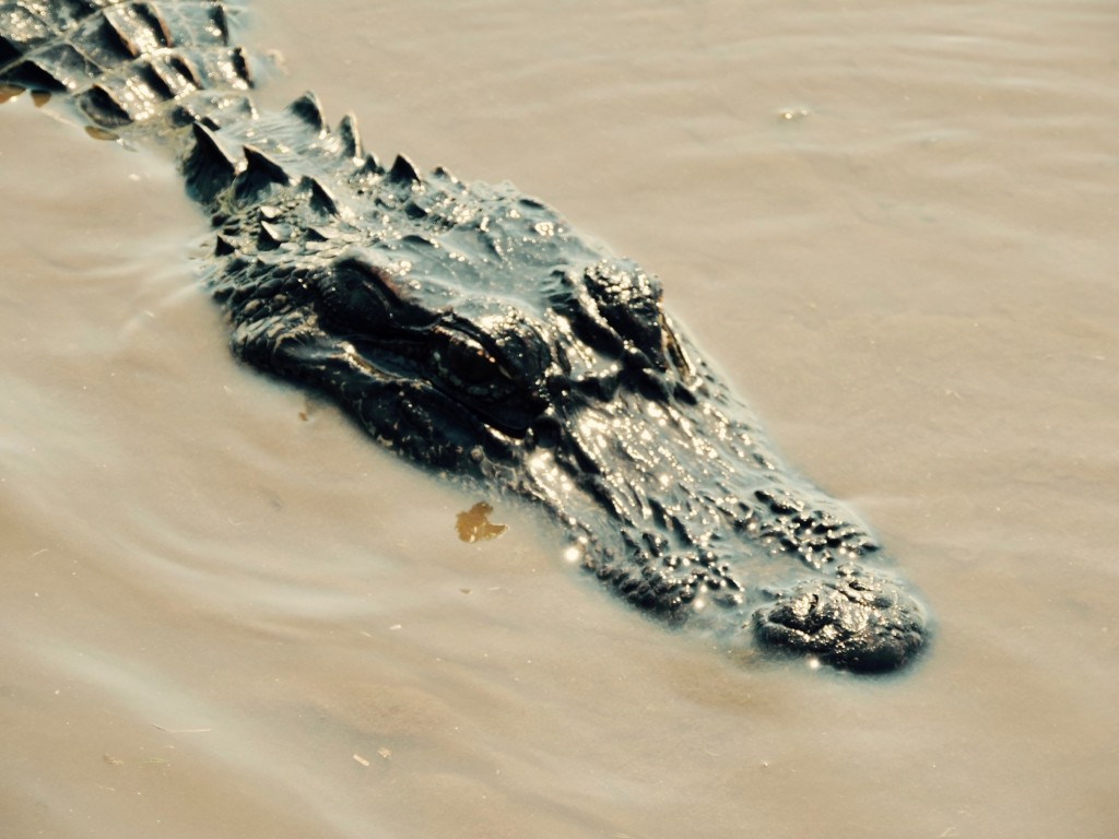 where to find alligators in new orleans, new orleans alligator tour