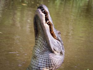 Discover the Thrill of a New Orleans Swamp Tour, alligator tour new orleans