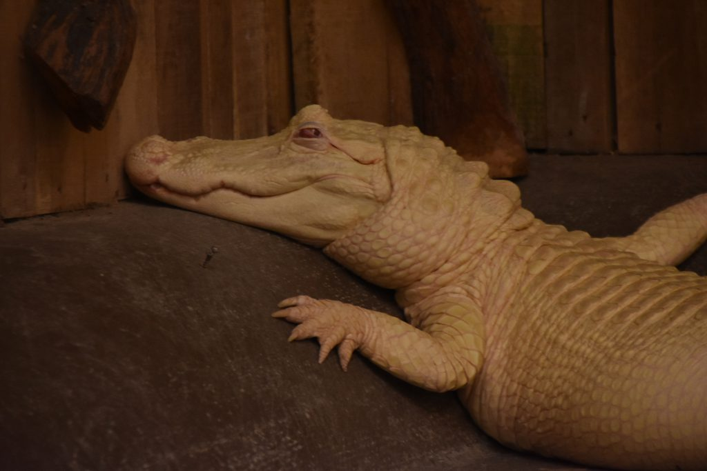 Sugar the albino alligator, part of the alligator tours at Airboat Adventures