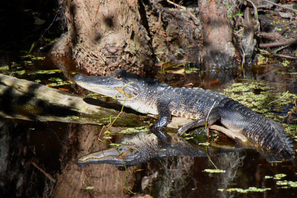 see alligators in louisiana, new orleans swamp tour