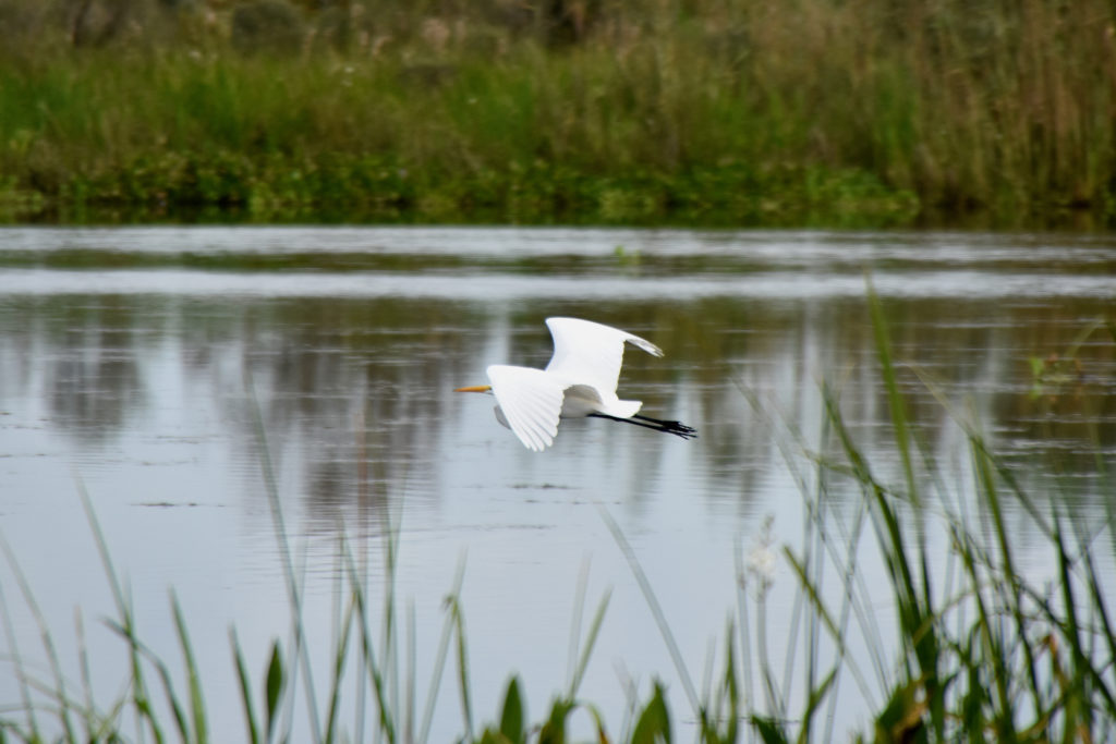egret in new orleans swamp