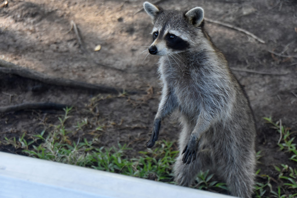 raccoon in New Orleans